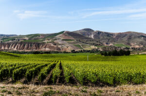 Santa Barbara Syrah Vineyard