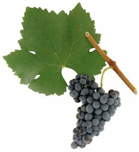 Syrah grape